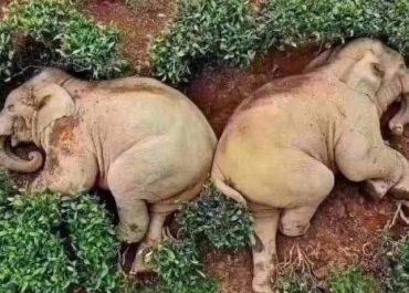 სპილოებმა მაჭარი დალიეს და დაეძინათ