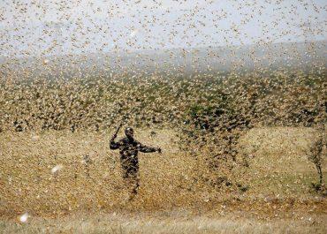 ყველაზე დამანგრეველი შემოსევა - აღმოსავლეთ აფრიკას ასობით მილიონი კალია შეესია