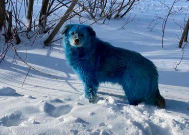 რა იპოვნეს რუსეთში ძაღლებმა და რატომ არიან ისინი ცისფერი ბეწვით? - ფოტოები